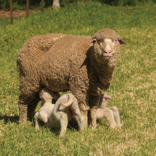 mother sheep and lambs